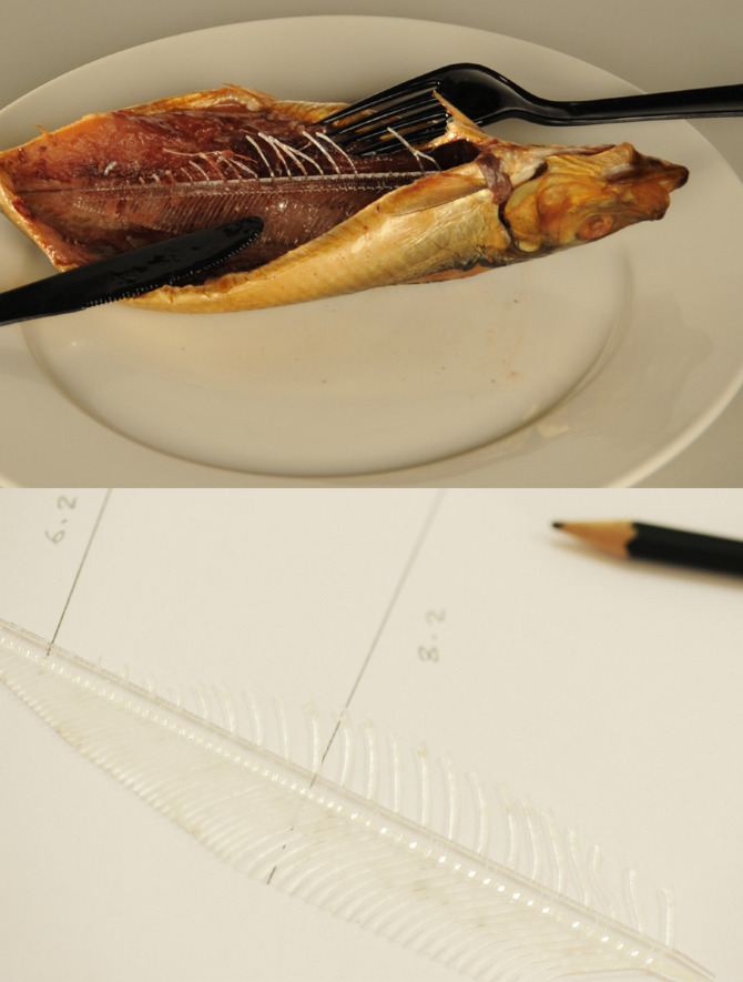 fishbone ruler
